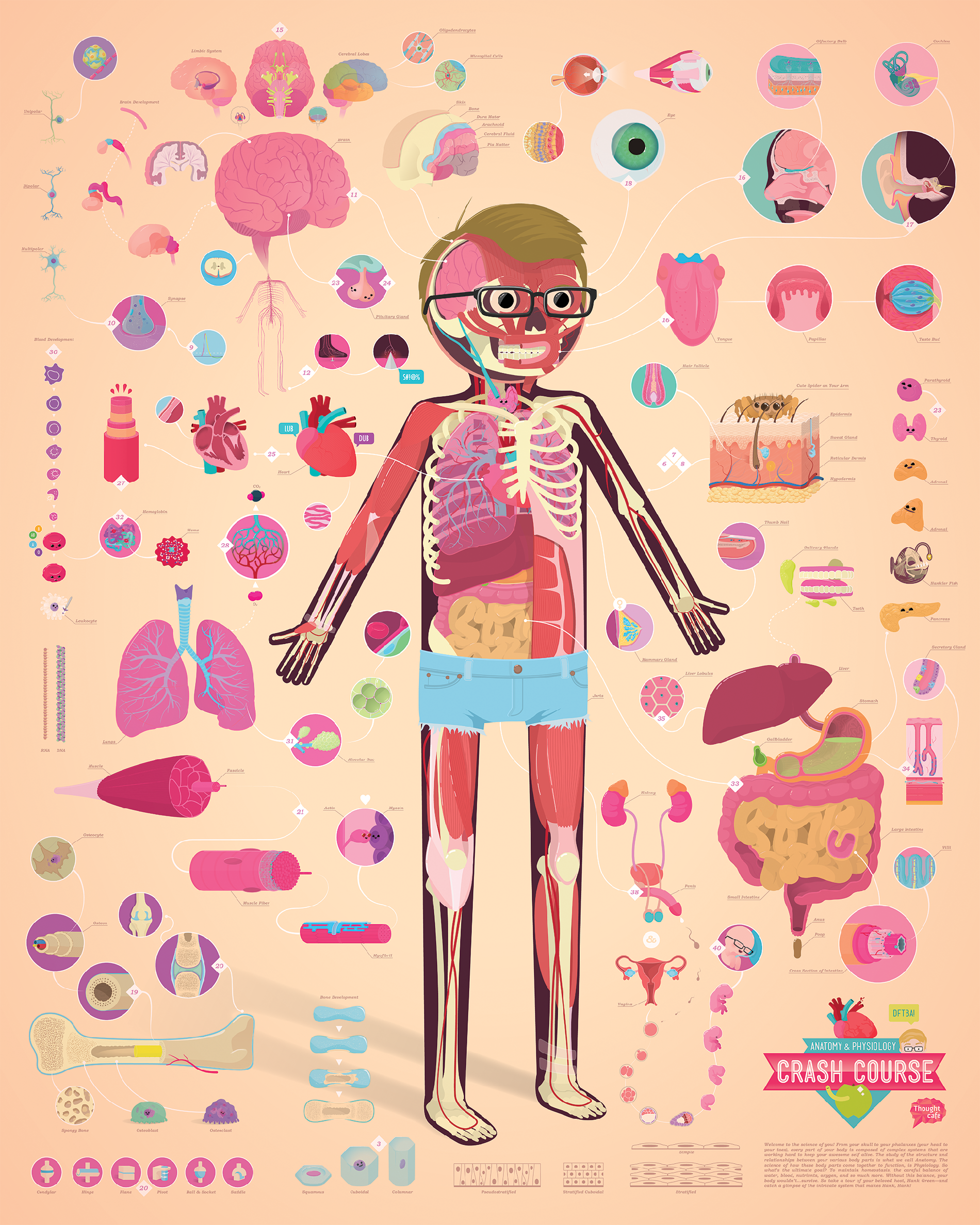 Crash Course Anatomy Poster — Information is Beautiful Awards